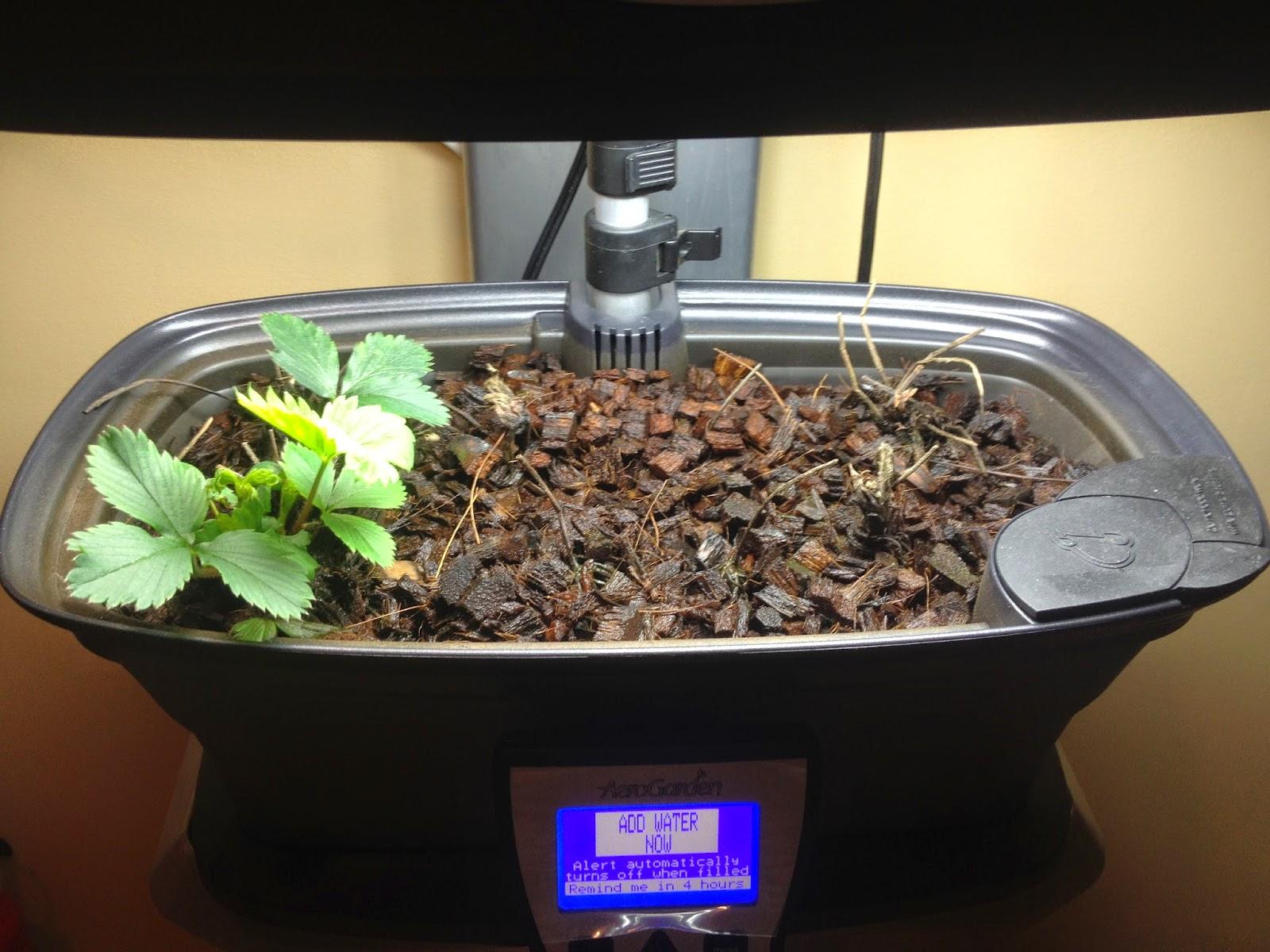 Aerogarden Strawberry Crowns - Try Try Again  Indoor Gardening