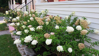 Hydrangea in Bloom at Henry-Wilkinson Household