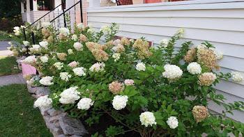 Hydrangea in Bloom at Henry-Wilkinson Household