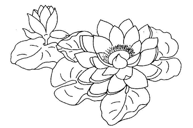 Rose water lily in the form of coloring for children