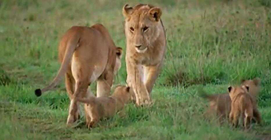 Beautiful African Animals Safaris: Lion cub tag of war ...