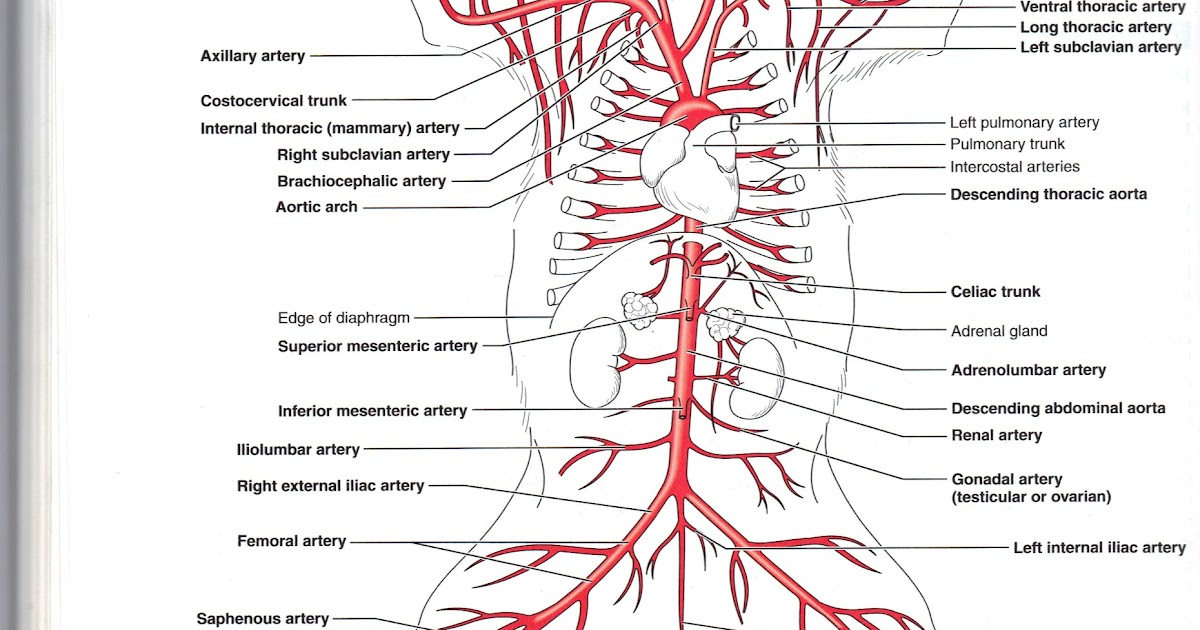 Diagram Of Thoracic Arteries Of The Cat - DIY Enthusiasts Wiring ...