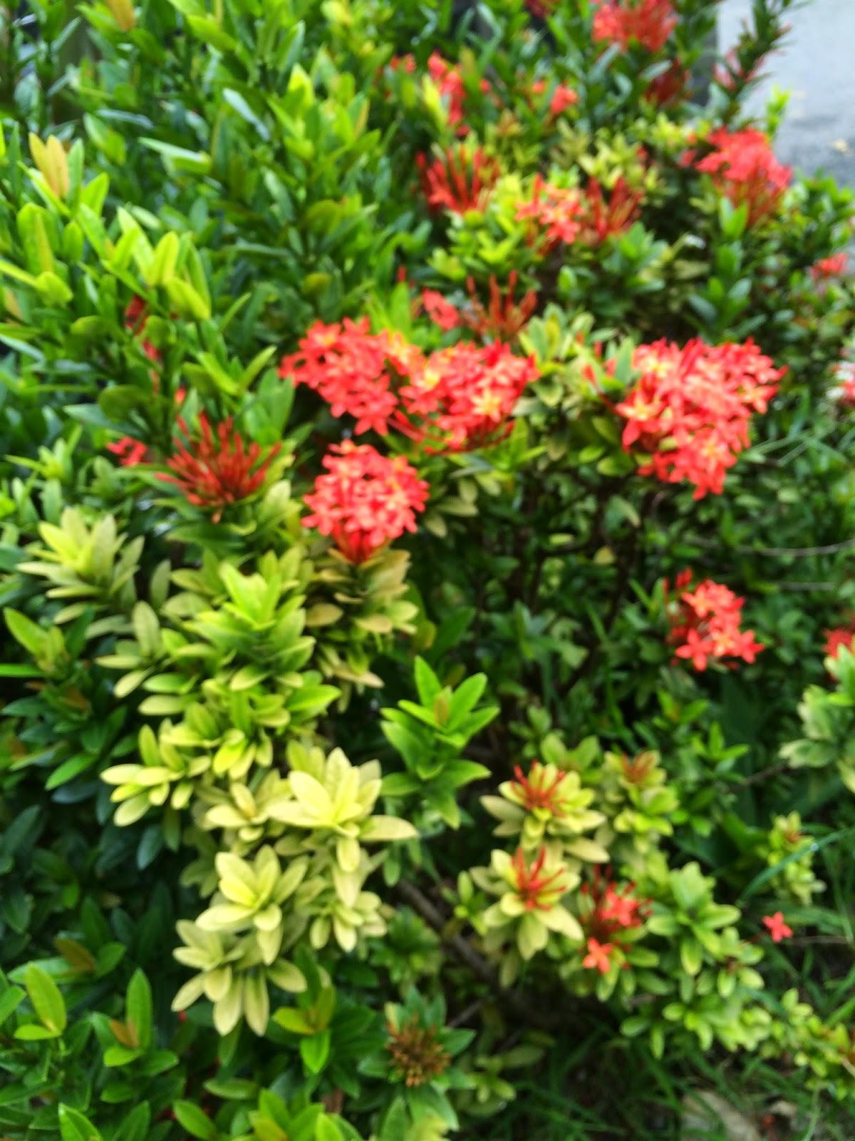 red dwarf ixora plant