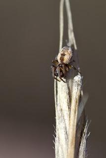 Para ampliar Dictyna arundinacea (Araña común del brezo) hacer clic