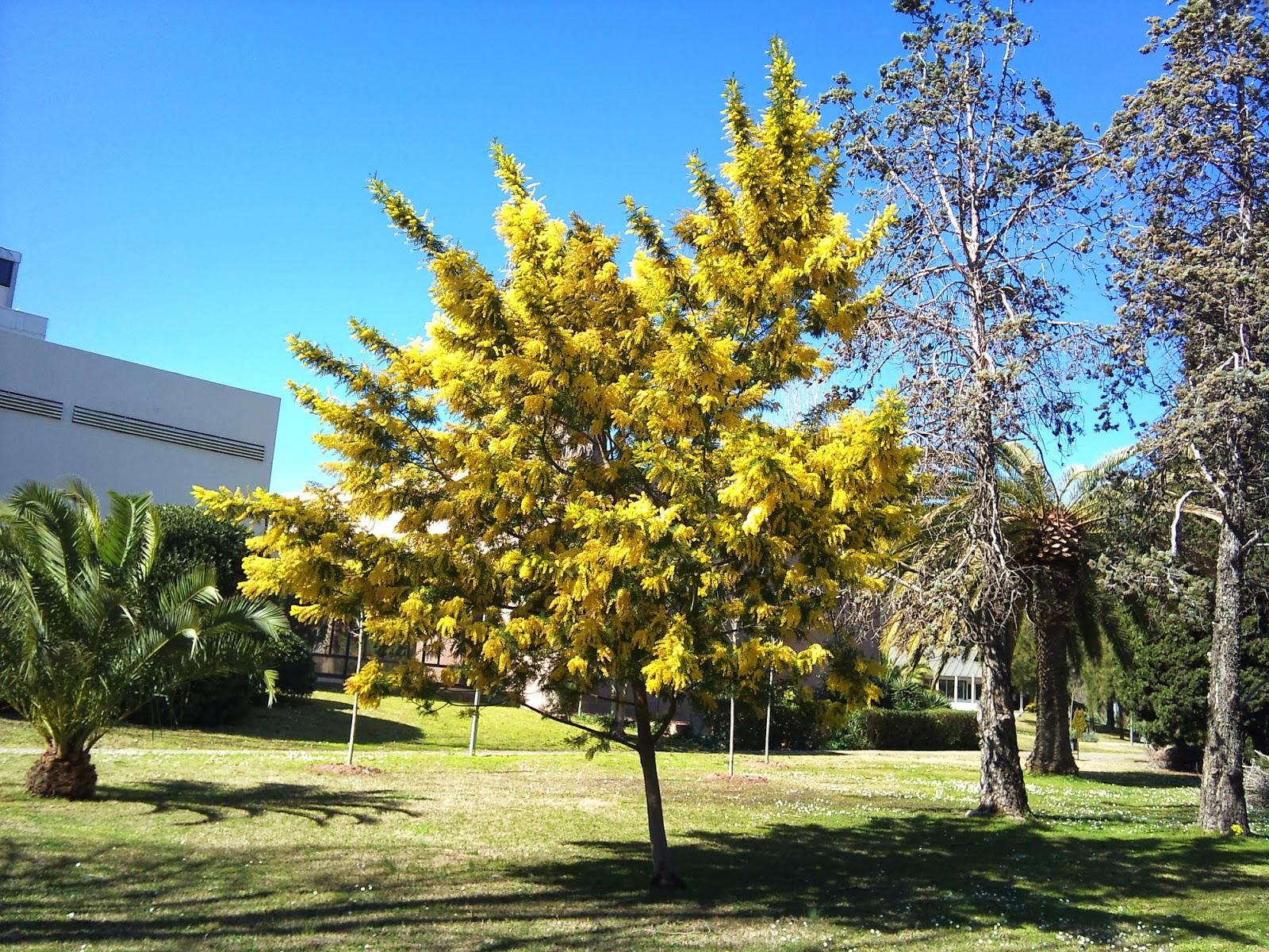 Rboles con alma mimosa plateada acacia dealbata - Arboles ornamentales para jardin ...