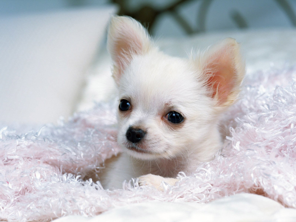 Cute dogs white chihuahua dogs for Pictures of cute dogs