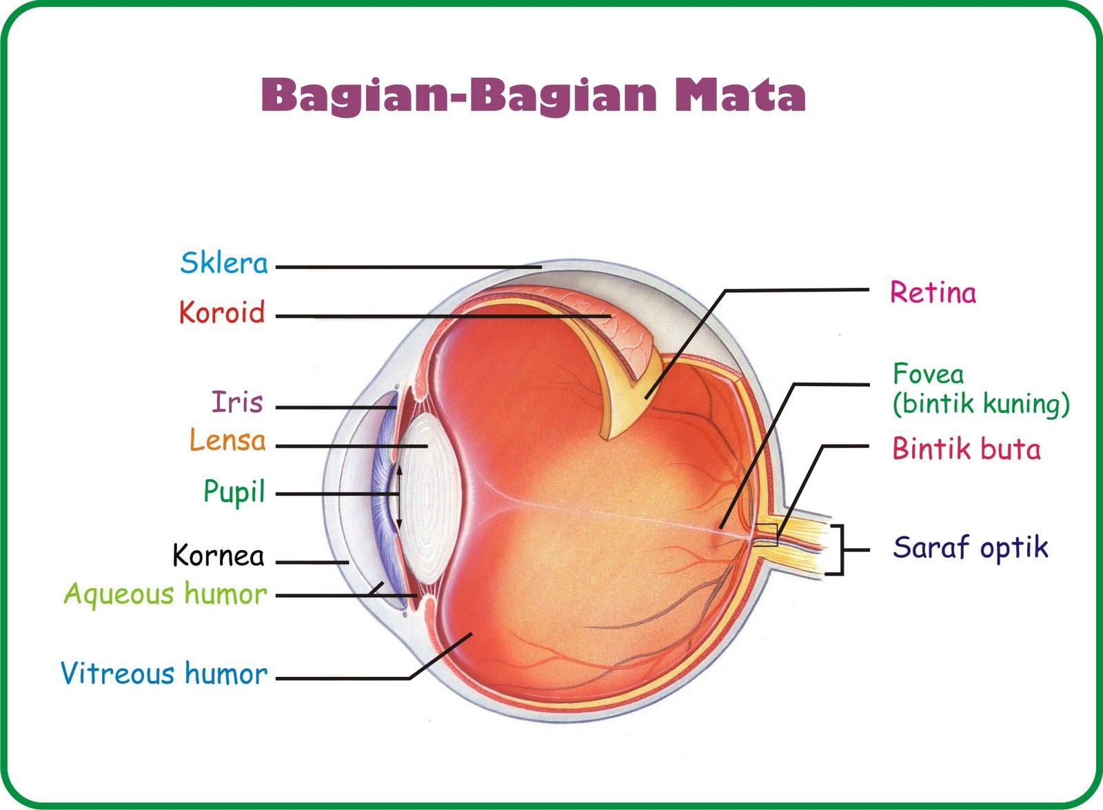 Saraf pada mata memegang peranan penting dalam sistem penglihatan