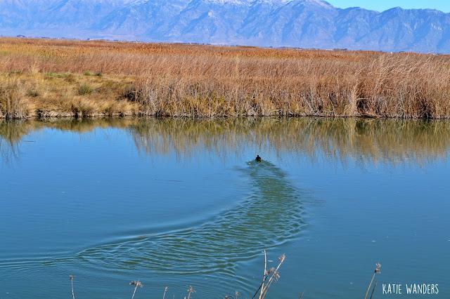 Bear River Migratory Bird Refuge-  Bear River
