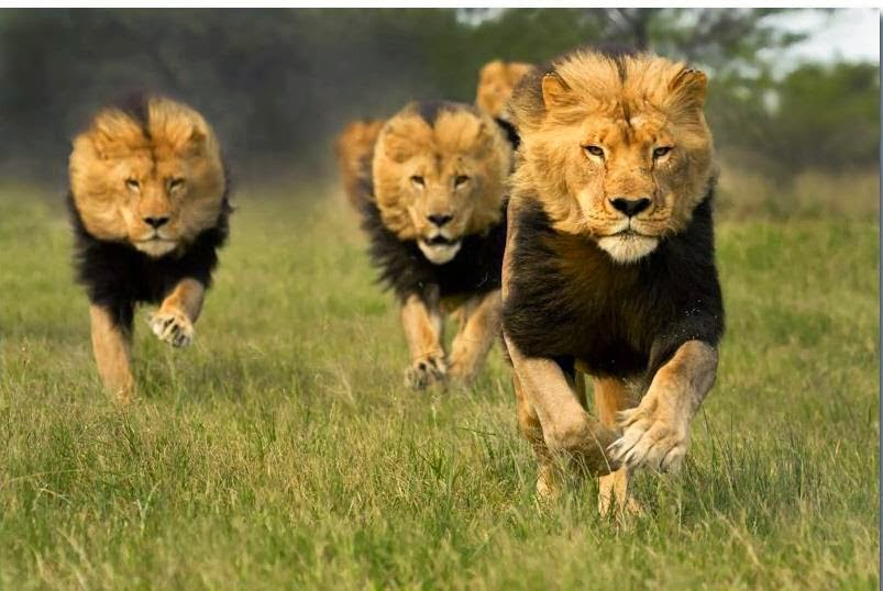 Animales: Leones , panteras ,tigres y jaguares