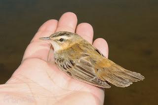 Carricerín común (Acrocephalus schoenoebaenus) Sedge Warbler. Jornada de anillamiento, control de fauna