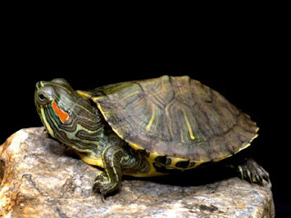 how to keep a turtle is quite important is to