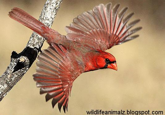 Female cardinal in flight - photo#27