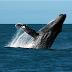 Ambientalistas defendem criação do Santuário das Baleias do Atlântico Sul