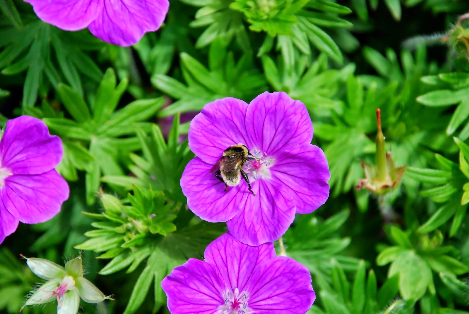 A bee on a pink flower