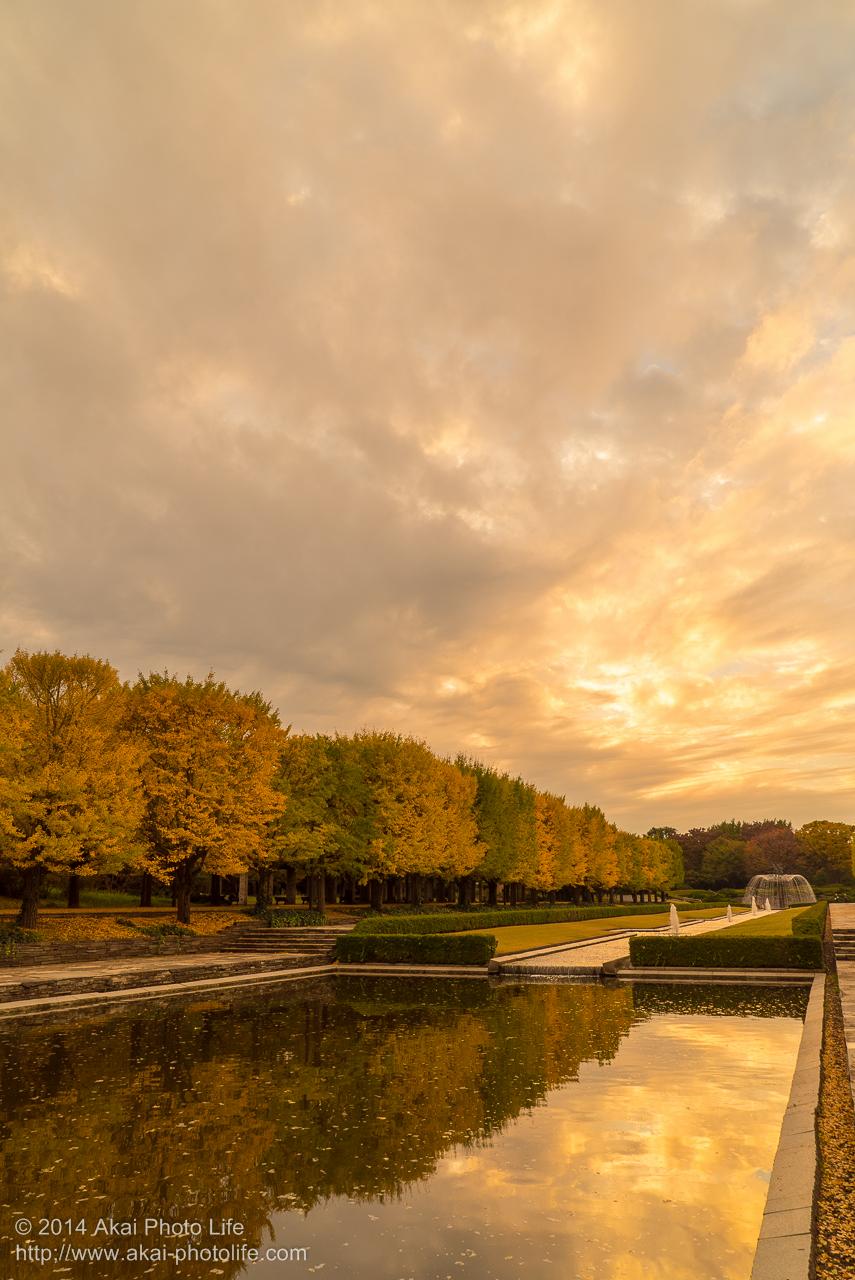 紅葉した銀杏並木と夕焼けの園庭を一緒に写した写真