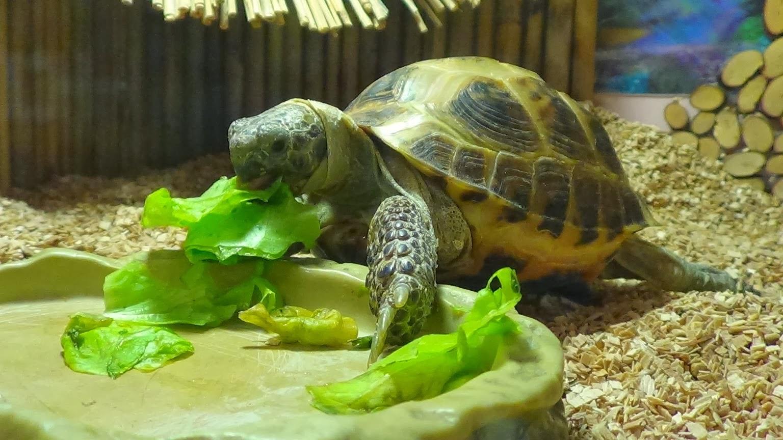 Как ухаживать за черепахой водной в домашних условиях чем кормить