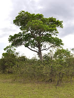 Saladillo blanco tree