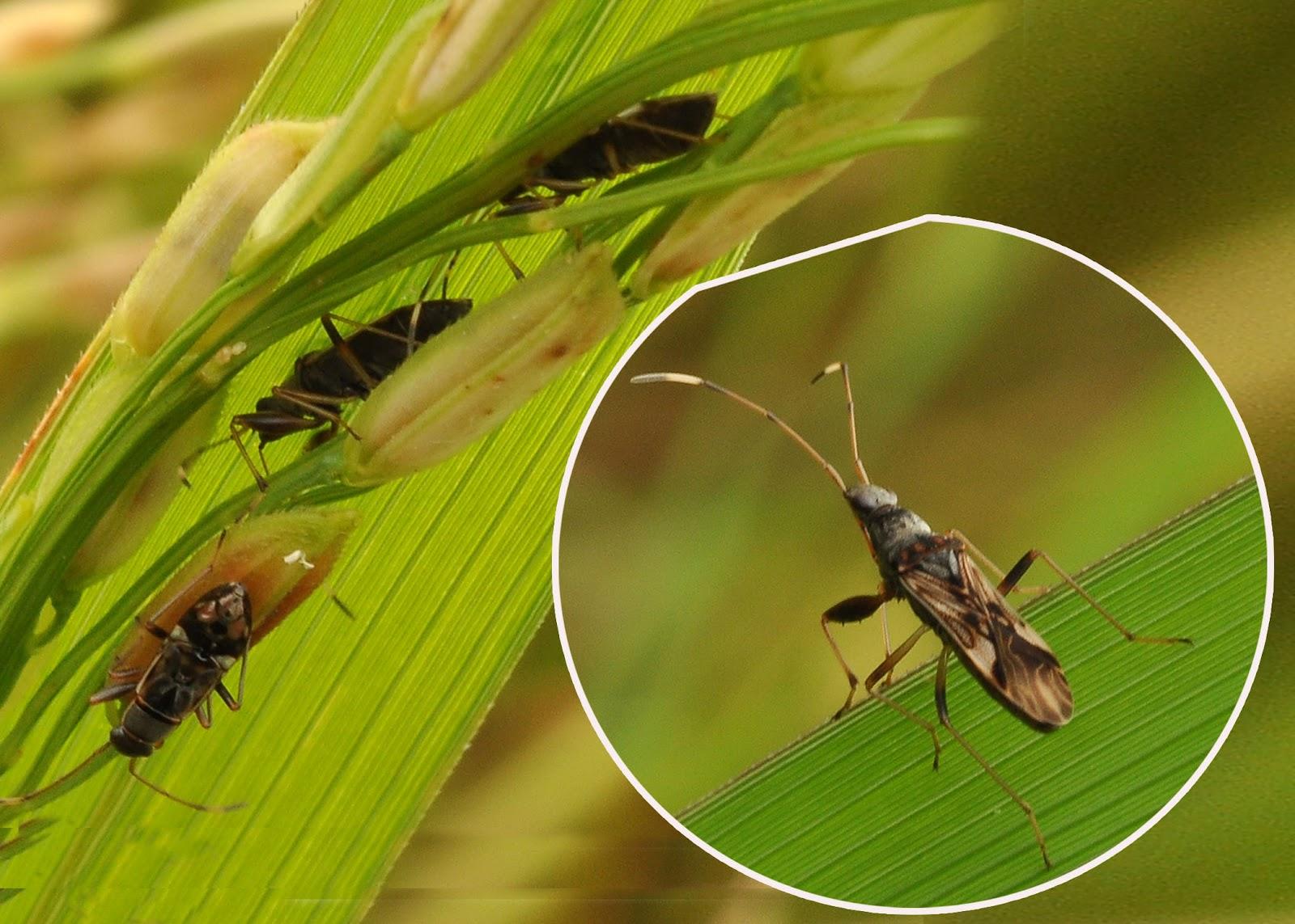Rice Black Bugs Philippines