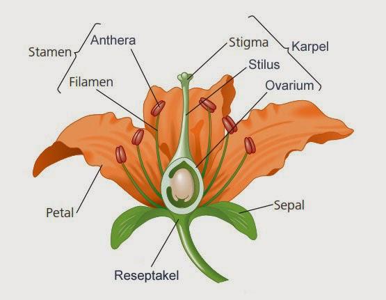 bagian-bagian bunga angiosperma