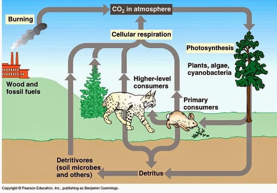 daur karbon karbon mengalami siklus daur biogeokimia perhatikan ...