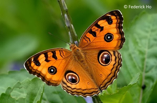 Wingspan of Adult Butterfly: 40-55mm. Caterpillar Local Host Plant: Ruellia ...