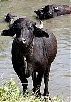Фото Укринформ:буйвол на Закарпатье