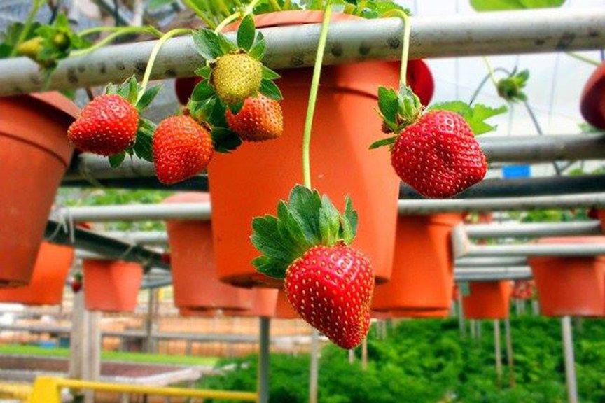 金马伦-草莓园