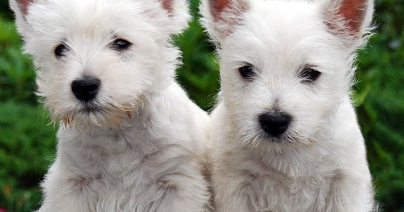 How To Speak And Understand Your Cesky Terrier's Hidden Language: Fun And Fascinating Guide To The I