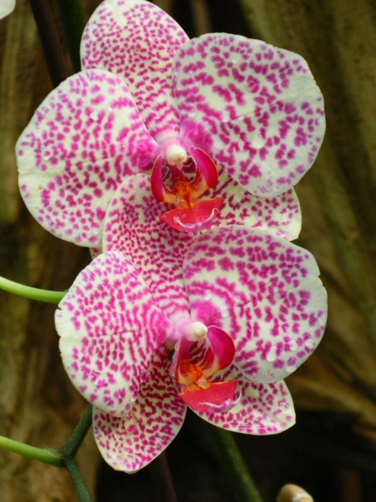 Centennial Park Conservatory moth orchid  tropical house by garden muses-not another Toronto gardening blog