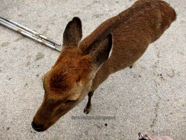 Deers in Miyajima