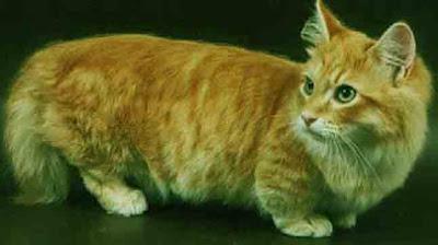 Ras Kucing Munchkin