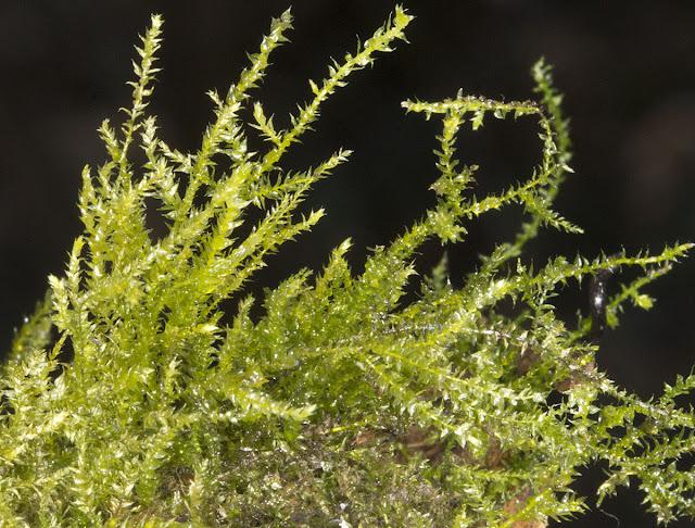 Kindbergia praelonga (ex. Eurhynchium praelongum).  Nashenden Down Nature Reserve, 14 April 2012.