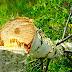 Безруков рыдает! Снегирей доели, принялись за березы: новый «фейк» от росСМИ