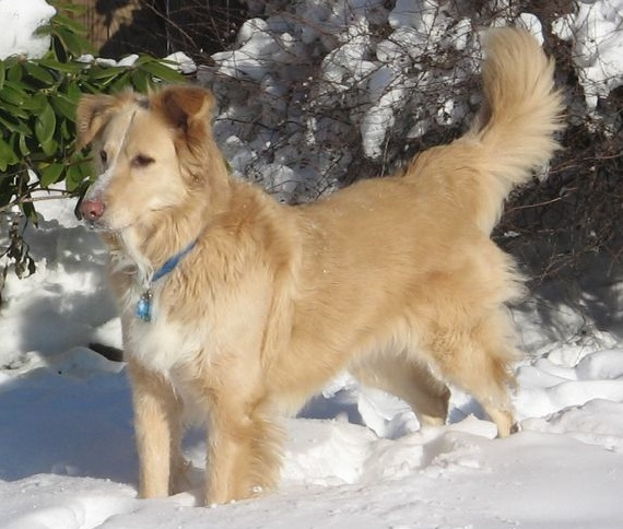 American Eskimo Golden Retriever Mix Collie/golden retriever).