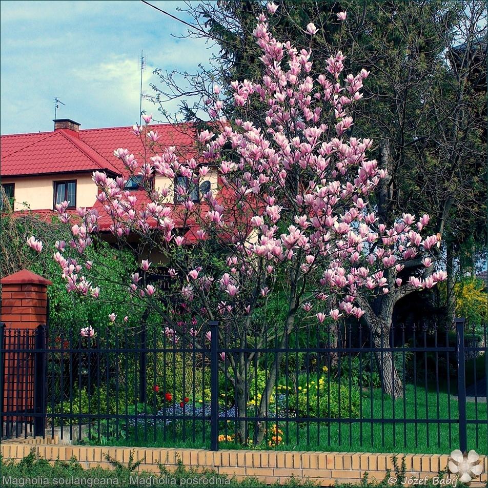 Magnolia soulangeana  - Magnolia pośrednia
