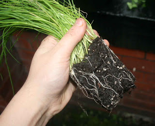 The root system of the Chive, demonstrating why re-potting shop bought plants is very important