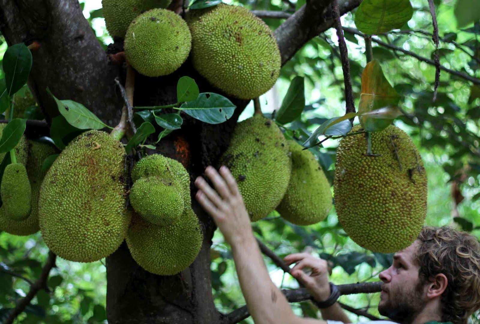 Project Bona Fide The Jackfruit Manifesto
