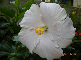 pink tinged hibiscus with yellow stigma