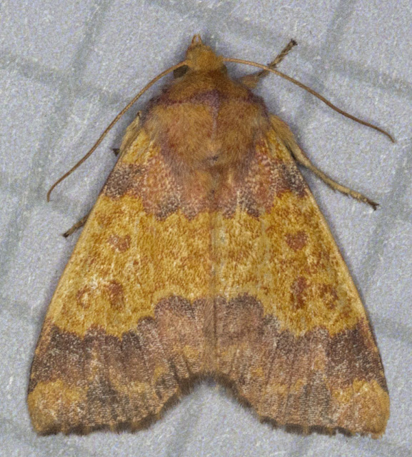 Barred Sallow, Xanthia aurago.  Noctuid.  Moth trap at Farthing Downs with Gill Peachey, 4 October 2011.