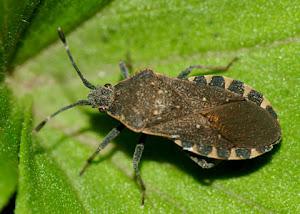 Squash bug aka alien!