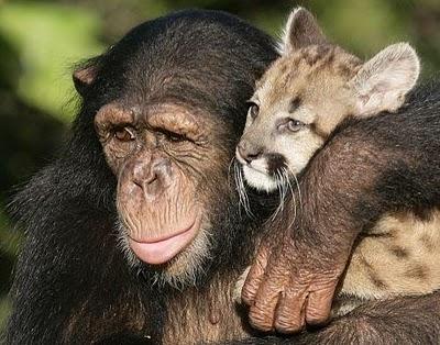 chimpanzé e filhote de puma
