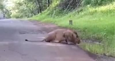 Lion at Trimbakeshwar Jawhar Toad
