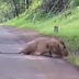 Lion at Trimbakeshwar Jawhar Toad - त्र्यंबकेश्वर जव्हार रोडवर सिंह