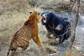 bear+lion+fight.jpg
