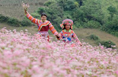 Mê mẩn sắc hồng hoa tam giác mạch ở Xín Mần.