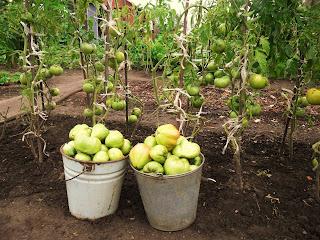 15 августа, собрано 2 ведра детерминантных помидоров