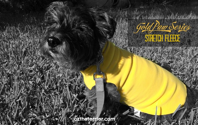 Oz the Terrier wears Gold Paws Series yellow Stretch Fleece for dogs to stay warm