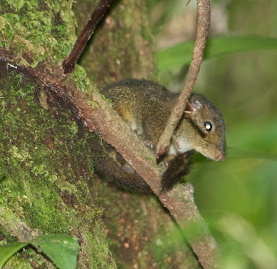 Brooke's Squirrel (Sundasciurus brookei)