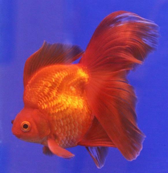 gambar ikan mas gambar ikan