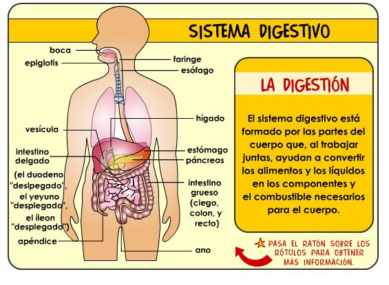 El sistema Digestivo ~ KARINA BRAVO OTINIANO
